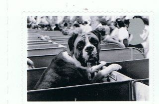 Dog Boxer At Dog Show Image 2001 Self - Adhesive British Stamp - Nh - Rare photo