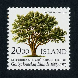 Iceland 608 Tree,  National Horticulture Soc photo