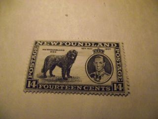 Newfoundland Stamp Scott 238 A131 Newfoundland Dog 14 Cents Black 1937 photo